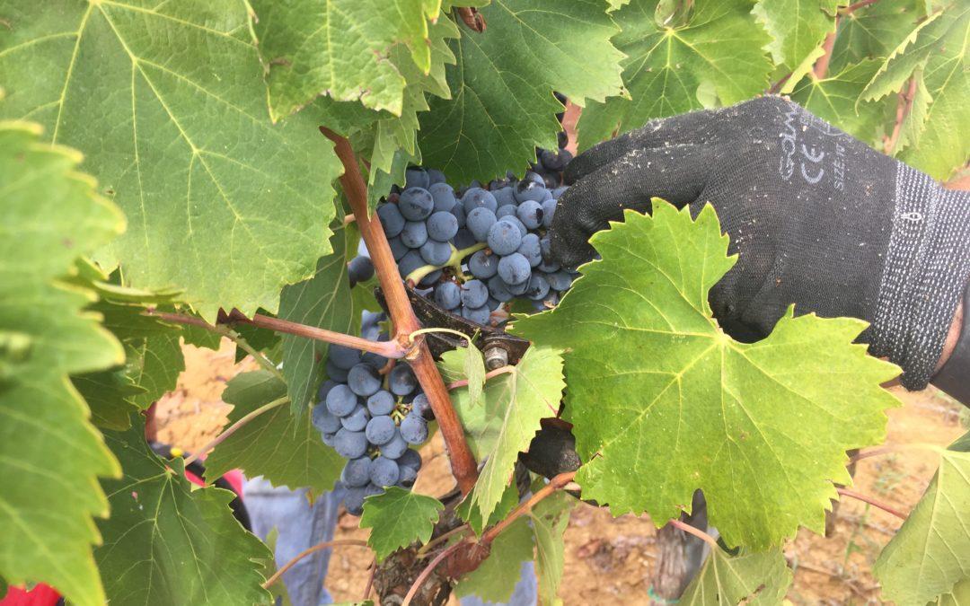 Wijnoogst Vino Nobile di Montepulciano DOCG jaargang 2017